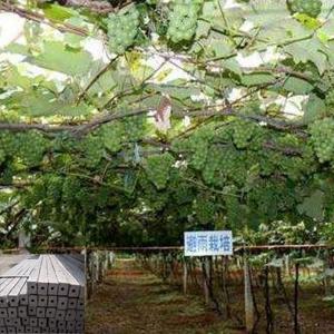 葡萄水泥立柱